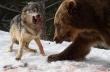 Αρκούδα κλέβει το θήραμα λύκων