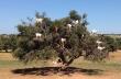 Έτσι βόσκουν οι κατσίκες στο Μαρόκο