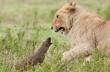 Γενναία μαγκούστα τα βάζει με λιοντάρια