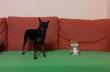 Το κουκλάκι τρολάρει τον σκύλο