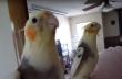 Ο παπαγάλος τραγουδάει