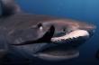 Δύτης κολυμπάει με καρχαρίες
