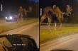 Γιγαντιαίο moose κόβει βόλτες σε κεντρικό δρόμο της Αλάσκα