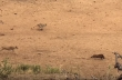 7 λέαινες κυνηγούν αγριογούρουνο