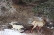 Δυο λύκοι εναντίον μιας άλκης