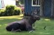 Αλάσκα: Τάρανδος δροσίζεται σε αυλή σπιτιού