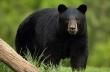 Μαύρη αρκούδα κυνηγά 3 ποδηλάτες