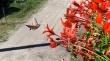 Πεταλούδα πετά σε αργή κίνηση