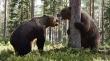 Άγρια μάχη μεταξύ αρκούδων